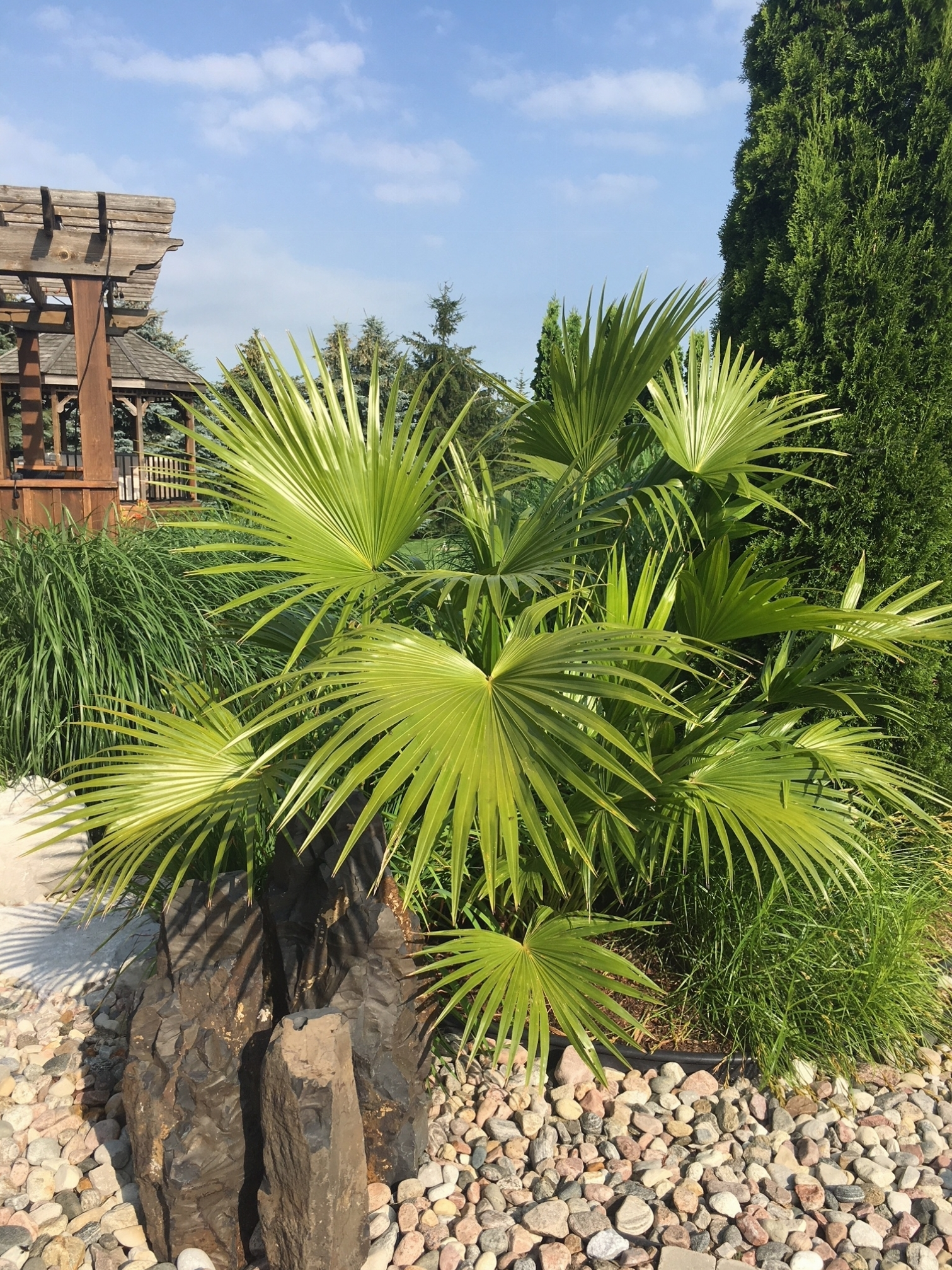 FOUNTAIN PALM 2018